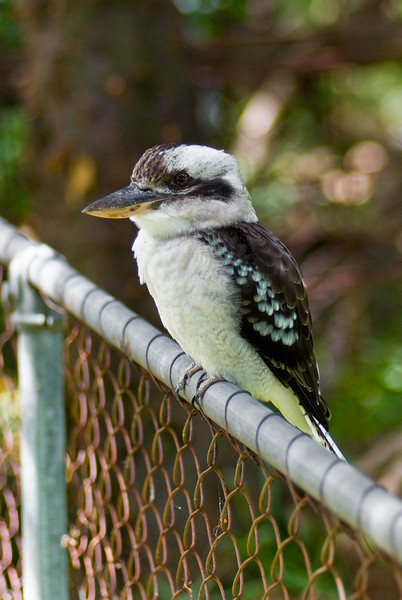 Laughing Kookaburra Perching on a Fence