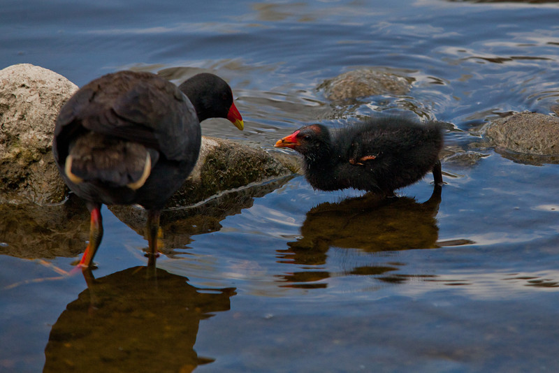 Young Dusky Moorhen with Mother