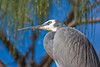 White-faced Heron (Egretta novaehollandiae) in a Tree