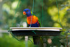 Lorikeets in the Garden (Trichoglossus haematodus)