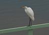 Egret on a Handrail