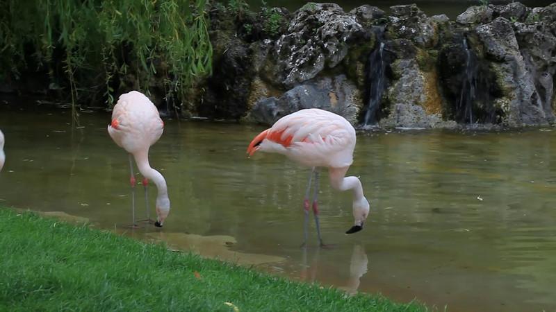Bright Flamingoes at Dudley Zoo