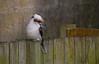 Kookaburra on a Neighbour's Fence