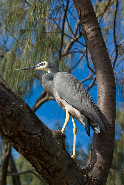 White-faced Heron (Egretta novaehollandiae) in a Tree