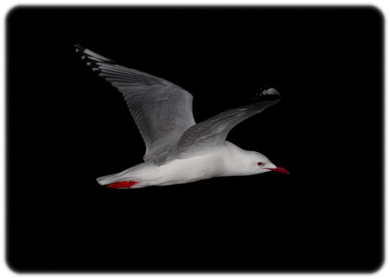 Australian Silver Gull in Flight at Night Chroicocephalus novaehollandiae)