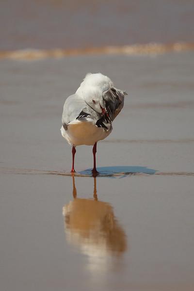 Australian Silver Gull (Chroicocephalus novaehollandiae)