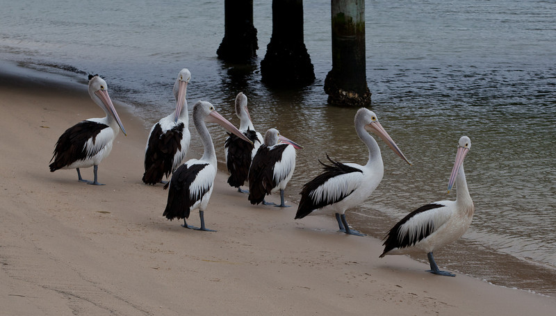 Pelicans in the Middle Harbour