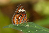 Buttefly: Orange Lacewing (Cethosia penthesilea)