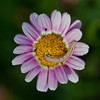 Caterpillar on a Daisy
