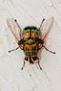Super Giant Fly: Green Rutilia Fly (Rutilia (Chrysorutilia) imperialis)