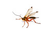 Female Yellow-banded Ichneumon Wasp