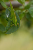 Bush Cricket/ Katydid on a Fig Tree