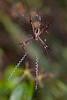 St Andrew's Cross Spider (Argiope keyserlingii) Eating Dinner