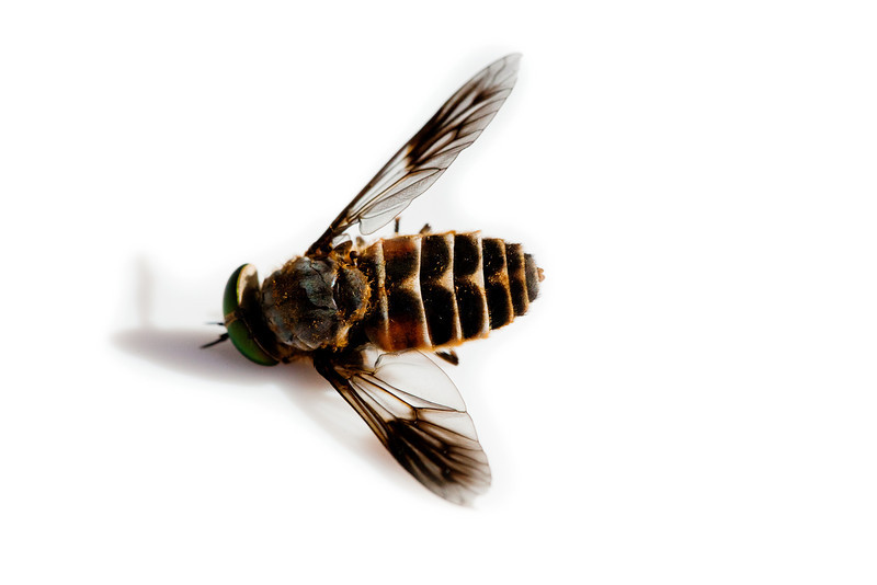 Dead March Fly (Horse Fly)