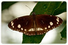 Butterfly: Common Crow (Euploea core)