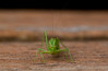Bush Cricket/ Katydid on a Timber Step