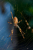 Golden Orb Weaver Spider in the Morning Sun ( Nephila edulis )