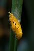 Yellow Chrysalis on a leaf