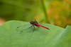 Red Arrow Dragonfly (Rhodothemis lieftincki) on a Lotus Leaf
