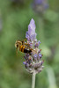 Bee on a Lavender Flower