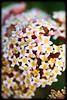 Rondeletia amoena flowers