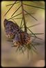 Unknown Wild Grevillea Seed Pod