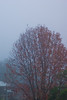Liquidambar Tree in the Fog