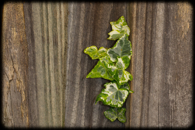 Variegated Ivy on a Timber Fence