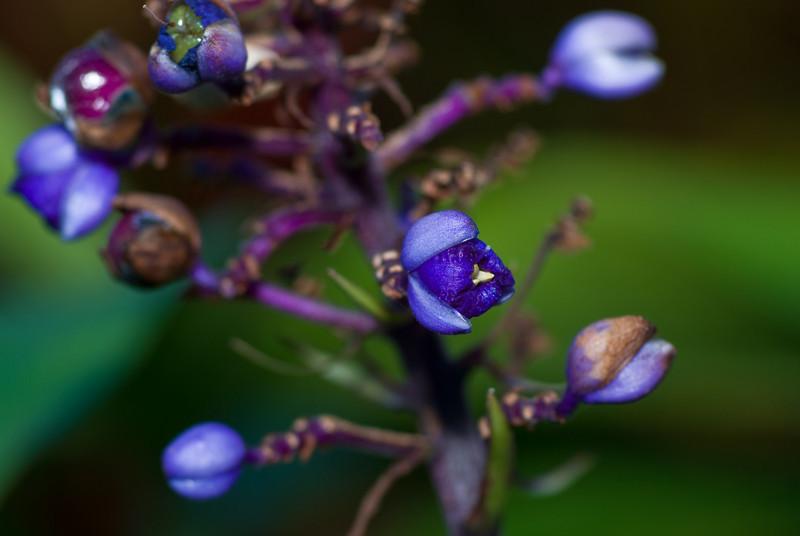 Dichorisandra Thrysifolia (Blue Ginger)