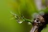 Raindrop on a Lemon Shoot