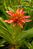 Red and Yellow Guzmania Bromeliad