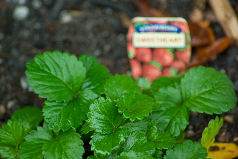 Veggie Patch: Strawberries