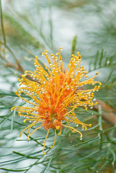 Honey Gem Grevillea Flower After the Rain
