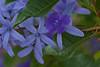 Petrea Flowers