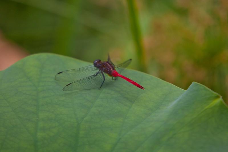 Dragonfly on a Lotus Leaf