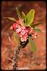 Euphorbia millii