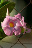 Mandevilla in the Morning Sun