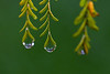 Raindrops on Poinciana Leaves