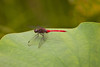 Dragonfly on a Lotus Leaf