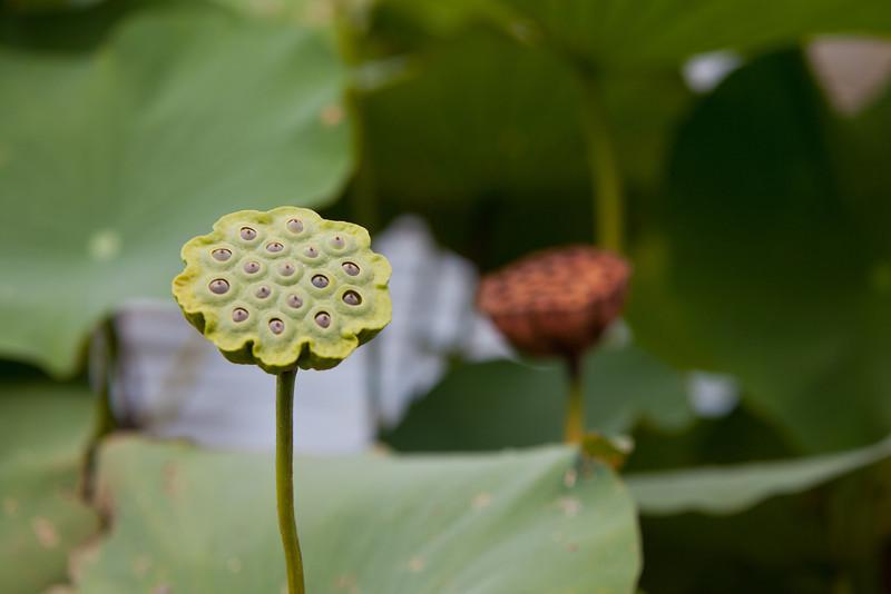 Lotus Pod and Pond
