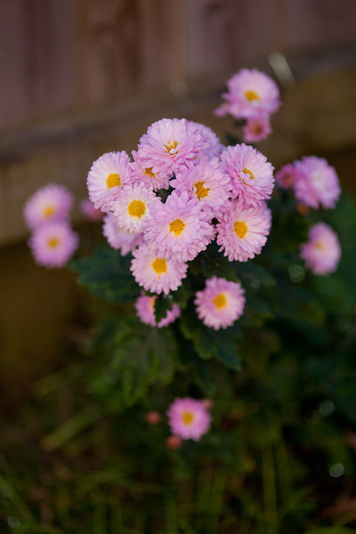 Pink Daisies