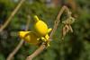 Nipple Fruit (Solanum mammosum)