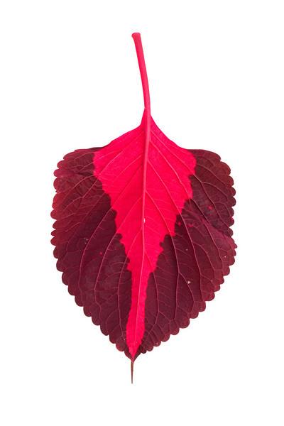 Coleus Leaf