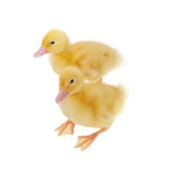 Pekin  Ducklings