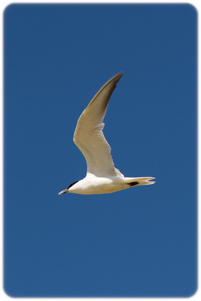 Gull-Billed Tern in Flight (Sterna nilotica)