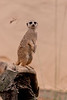 Meerkat Standing Guard on a Rock