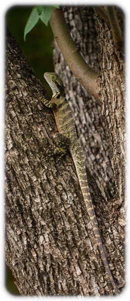 Eastern Water Dragon (Intellagama lesueurii) in a tree at Mt Coot-Tha Botanical Gardens
