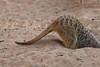 Meerkat (Suricata suricatta)<br /> Taronga Zoo, Sydney