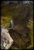 Krefft's Turtle (Chelymys krefftii)