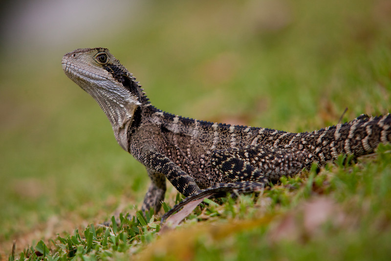 Eastern Water Dragon on a Lawn